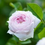 rosengarten-roemerswil-prisc-taylor-2