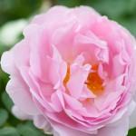 rosengarten-roemerswil-prisc-taylor-4