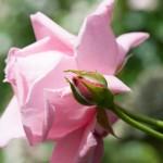 rosengarten-roemerswil-prisc-taylor-9